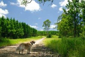Golden retriever standing on a forest path, symbolizing the road to happiness